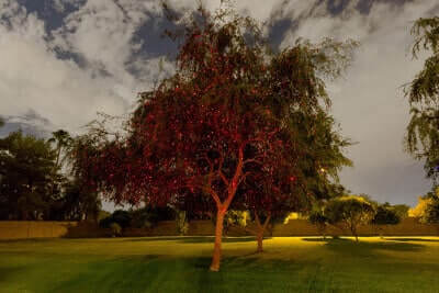 Red-Laser-Tree